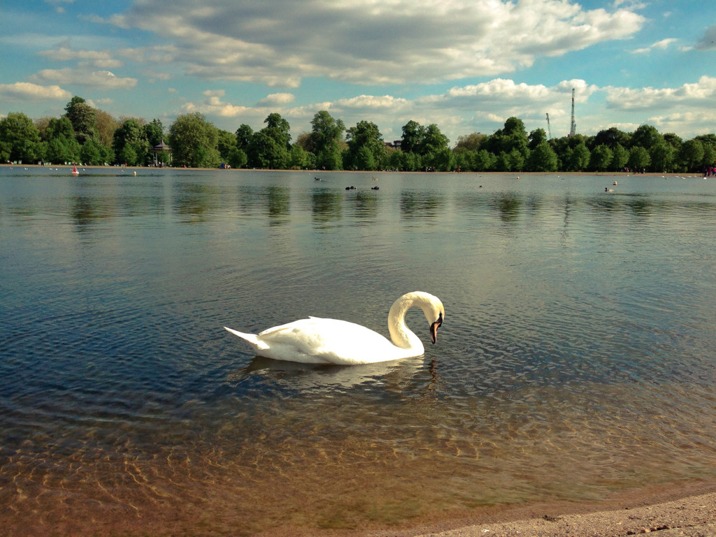 Swan on the Lake in front of Kensington Palace