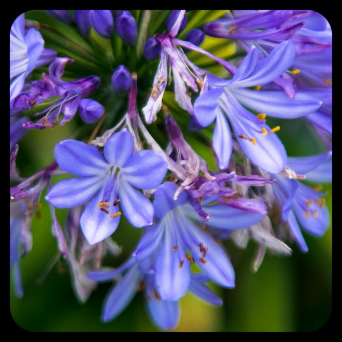 purple flowers ms giggles